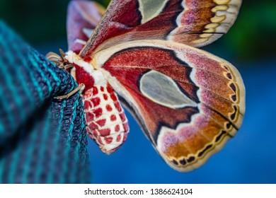 giant Argentina moth. cecropia moths, The Atlas of Rothschild, Rothschildia moth jacobaeae
