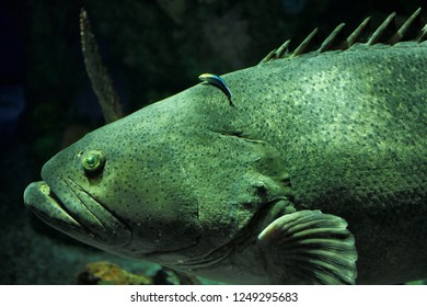 Giant Atlantic Goliath Grouper being cleaned by a bluestreak cleaner wrasse fish at Ripley's Aquarium Toronto