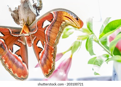 Giant atlas moth is a butterfly coming out only at night.