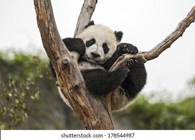 Giant Baby Panda Hanging on a Tree