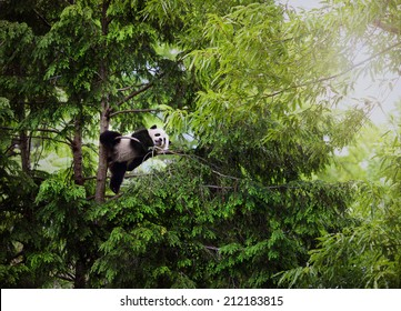Giant Baby Panda playing in trees.