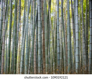Giant Bamboo in the forest