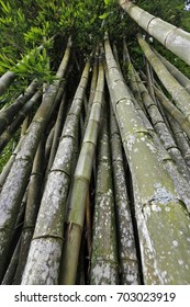 Giant bamboo, the highest of bamboos, type of grass that covers more than 91 genera and over 1000 species