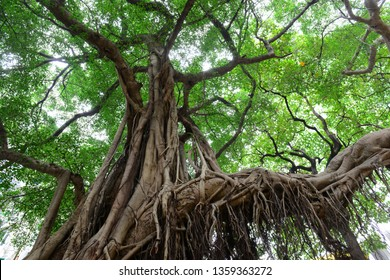 Giant Banyan tree with aerial prop roots provides shade for people in a park.