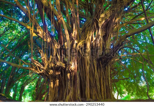 Giant banyan tree in Hawaii