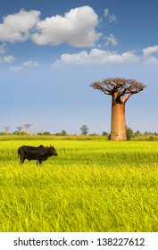 Giant baobab in Madagascar with ox in front