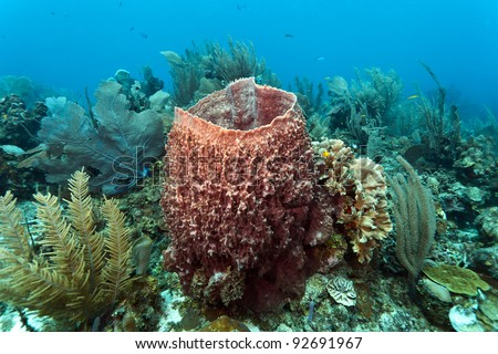 giant barrel sponge Xestospongia muta
