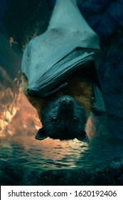 Giant Bat. The grey-headed flying fox is a megabat native to Australia. The species shares mainland Australia with three other members of the genus Pteropus