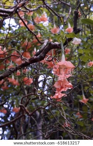 Giant bell shaped pale pink flowers stock photo edit now 618613217 giant bell shaped pale pink flowers on plumeria tree angel trumpet flowers mightylinksfo