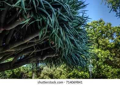 Giant, big yucca, garden da Estrela, Lisbon, Portugal