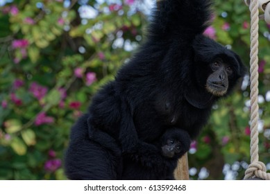 A giant black monkey swings with a baby nervously clinching to her belly