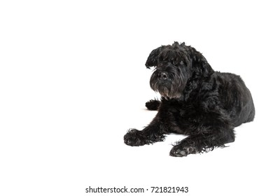 Giant Black Schnauzer Dog is lying on the white background