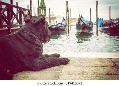 Giant Black Schnauzer is lying in front of gondolas in Venice (San Marco Square, Venice, Italy). Edited as a vintage photo with dark edges.