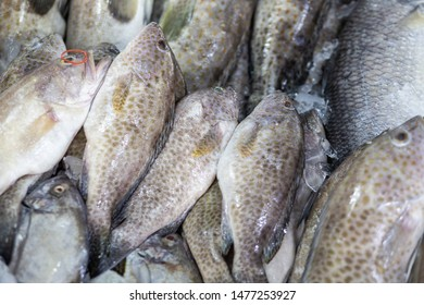 Giant black spot grouper fish sell in seafood market on ice