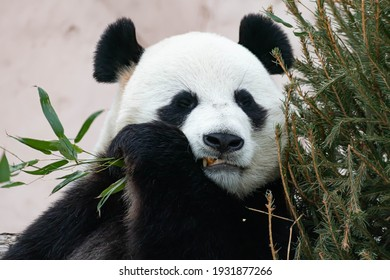 A giant black and white panda is eating bamboo. Large animal close-up