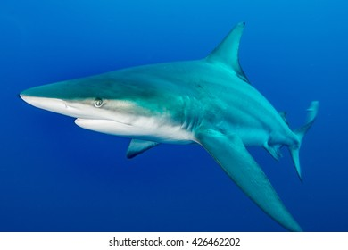 Giant Blacktip swimming in deep blue water