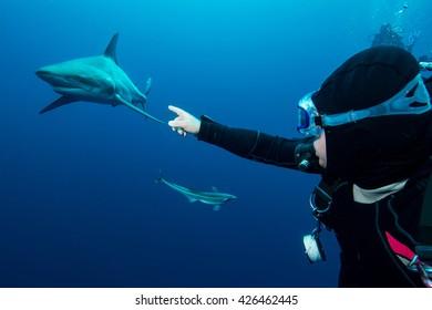 Giant Blacktip swimming in deep blue water