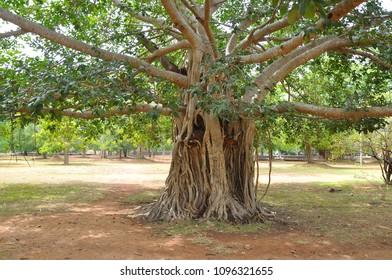 Giant Bodhi tree, Anuradhapura, Sri Lanka