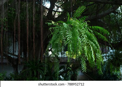 Giant boston fern hanging pot on tree