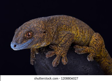 The Giant bronze gecko (Ailuronyx trachygaster) is a enigmatic species rarely seen endemic to 13km2 on the Seychelles islands.