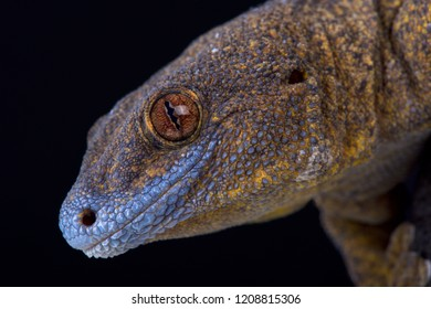 The Giant bronze gecko (Ailuronyx trachygaster) is a enigmatic species rarely seen.