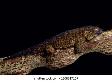 The Giant bronze gecko (Ailuronyx trachygaster) is a enigmatic species rarely seen . Its area of occupancy is 13 km² and it is known from only two locations on the Seychelles.