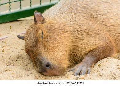 The giant brown capybara feathers are lying on the sand.