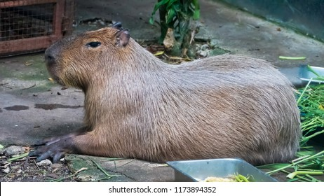 The giant brown capybara ( Hydrochaeris hydrochaeris ). Capybara is the world's largest rodents.