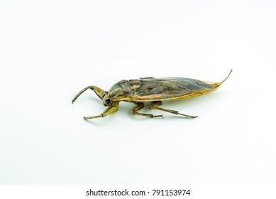 Giant  bug in Thailand  Lethocerus indicus  isolate White background