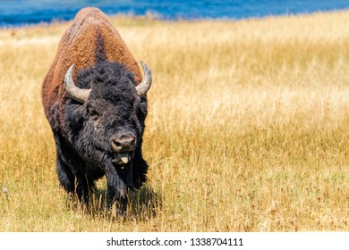 Giant bull alpha bison sticking out tongue, ready to fight for the right to rut and control the heard.