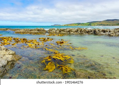 Giant bull kelp floating in shallows of rockpools on coast of Catlins area in Sout Island New Zealand. - Shutterstock ID 1901464276