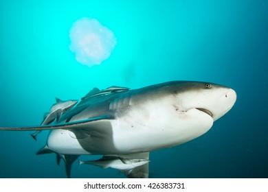 Giant bull shark / Zambezi Shark swimming in deep blue water