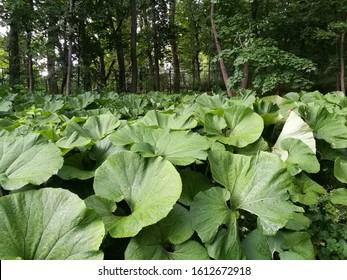 Bog Rhubarb High Res Stock Images Shutterstock