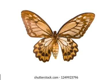Giant butterfly Ornithoptera priamus isolated on white background.