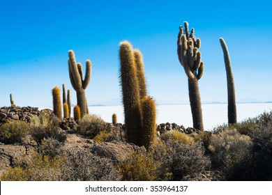 Giant cactus on the island Inca Wasi, Salar de Uyuni, Bolivia