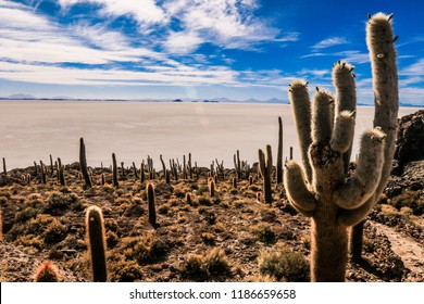 Giant Cactuses in the Incahuasi Island, Salar De Uyuni, Bolivia