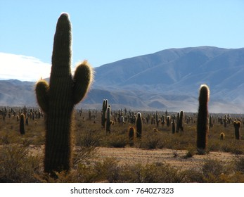 Giant cactus's of South America