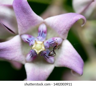 Giant calotrope or Crown flower, it is a large shrub growing to 4 m (13 ft) tall. It has clusters of waxy flowers that are either white or lavender in colour. Each flower consists of five pointed peta