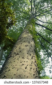 giant ceiba tree grows up in sunny tropical forest