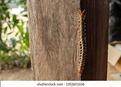 Giant Centipede, Scolopendra Gigantea