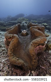 Giant Clam in the reef