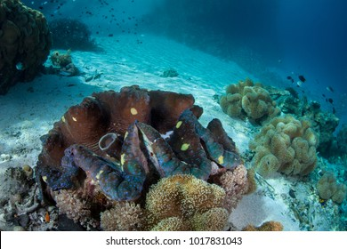 A Giant clam, Tridacna gigas, grows on a shallow reef in the Solomon Islands. The Solomon Islands are part of the Coral Triangle due to the amazing marine biodiversity found there.