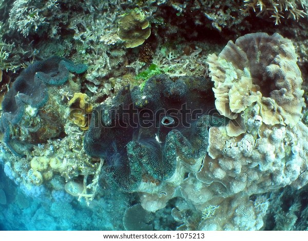 Giant Clams in coral outcrop