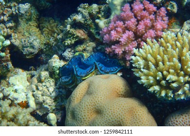 giant clams from red sea as nice animal