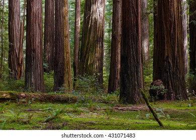 Giant Coast Redwood Trees Tower Over The Forest Floor.  Redwood National Park, Humboldt, California