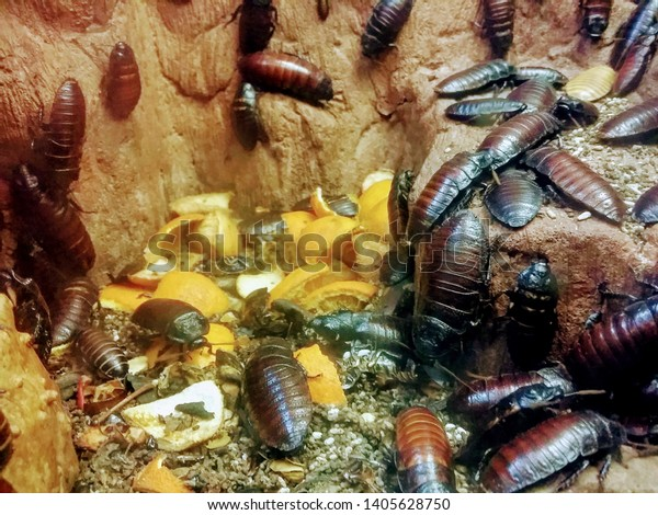 Lot of giant cockroaches eating oranges