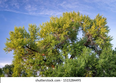 Giant cottonwood tree is starting to turn gold in early fall and sunset light, native to Colorado Plains, also the State tree of Wyoming, Nebraska, and Kansas