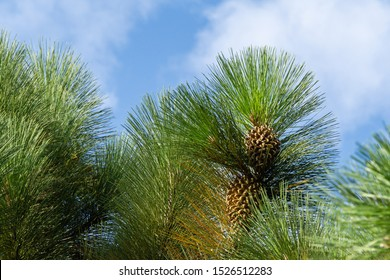 Giant Coulter pine (Pinus coulteri) with long needles and big cone on blue sky background in Crimea. Selective focus.