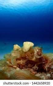Giant cuttlefish baby in Kerama Islands.