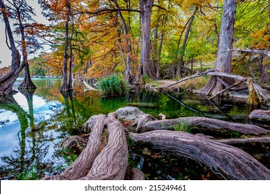 Giant Cypress Roots Tangled in the Clear Waters with Mystical Fall Foliage Surrounding the Clear Frio River, Texas.